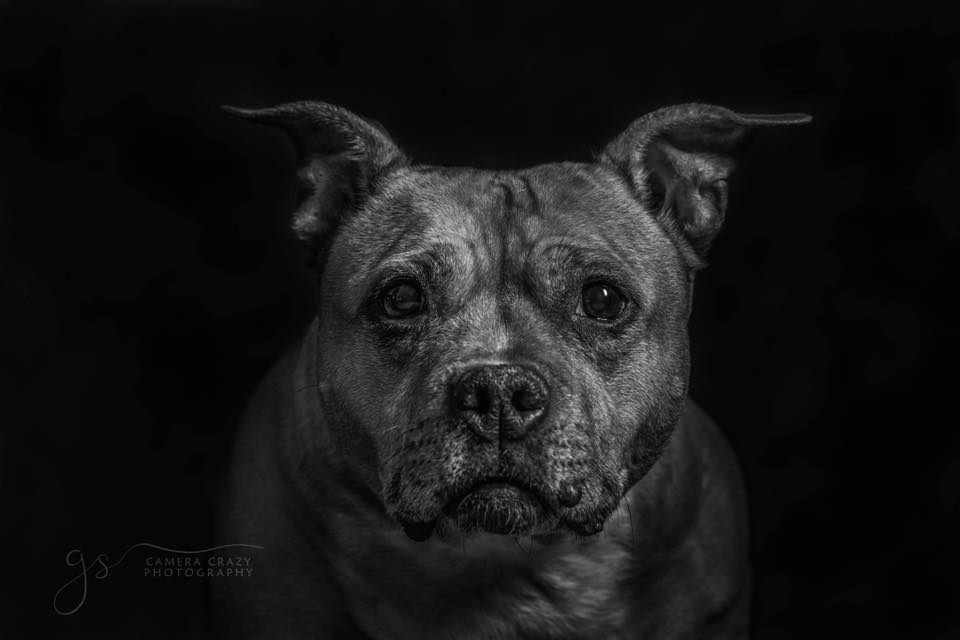 Stafford Bull Terrier Black and white image